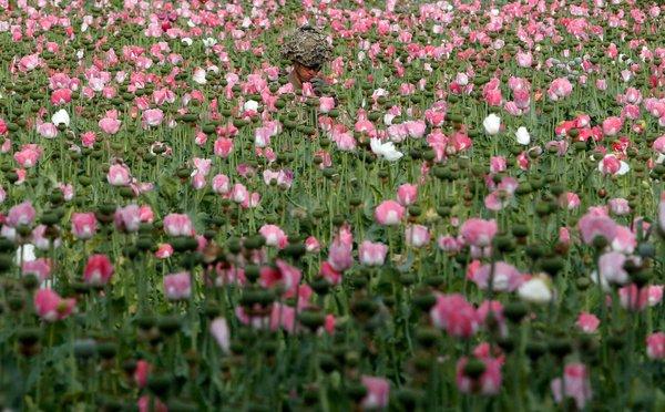 afghanpoppys